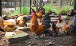 Don't call my chickens liars